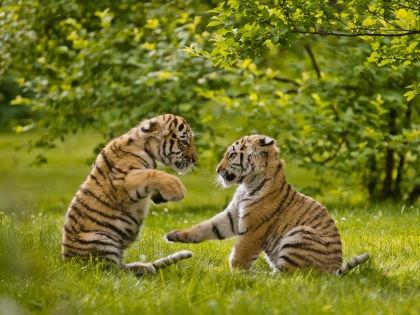 Амурский тигр // архив