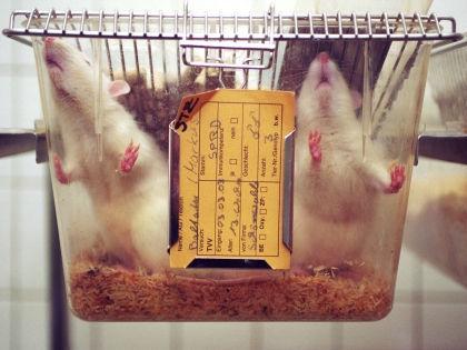 Ради нового исследования крыс замучили сексом? // Global Look Press