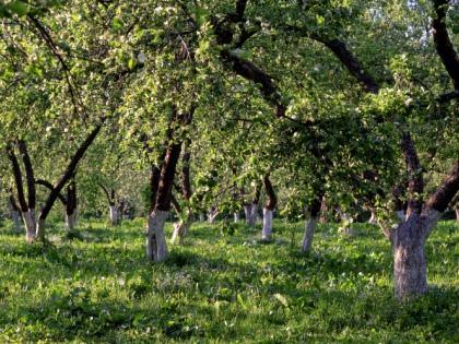 Бытующая рекомендация об удалении первых цветков у вступающего в плодоношение дерева ничем не обоснована // Global Look Press