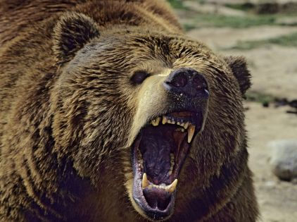 Животное вело себя агрессивно и пыталось покинуть базу // Tom & Pat Leeson / ardea.com