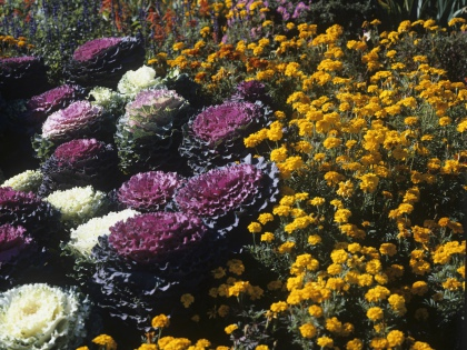 Бархатцы – неприхотливые цветы, и вырастить их не составляет особого труда, но поливать нужно умеренно // Global Look Press