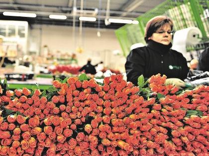 С голландских аукционов каждый день продают почти 20 миллионов живых растений // Russian Look