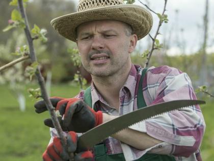 Обрезку делают, если слишком загущена крона дерева и листьям, плодам не хватает света // Global Look Press