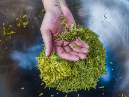 Зеленый чай содержит в себе один из наиболее мощных природных антиоксидантов // Global Look Press