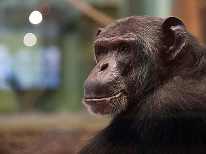 Шимпанзе начала сама чистить свой вольер // Paul Zinken / Global Look Press