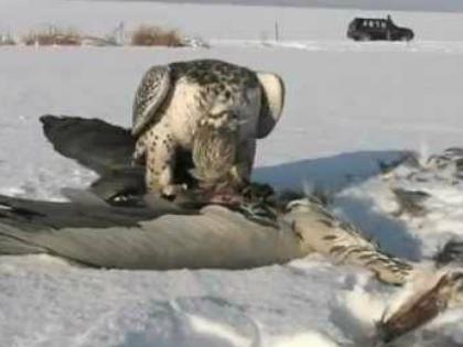 Арктика – единственное место, где гнездятся кречеты // Стоп-кадр YouTube
