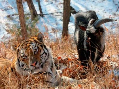 Китайские турфирмы уже продают экскурсии в сафари-парк, где живет Амур и Тимур // Амурский сафари-парк / safaripark25.ru