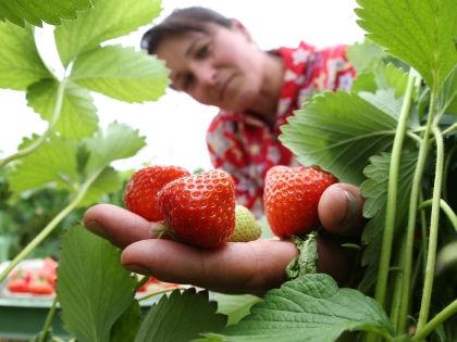 Лето - пора любимой всеми ягоды клубники // Global Look Press