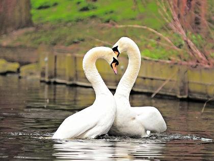 Лебедь умер от депрессии, не пережив смерть своей подруги // Shutterstock