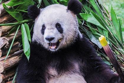 Популяция больших панд в дикой природе на сегодняшний день насчитывает 1864 особи  // Global Look Press