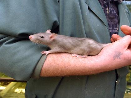 В Роспотребнадзоре считают, что проблема количества крыс не решится никогда //  Александр Шемляев / Russian Look