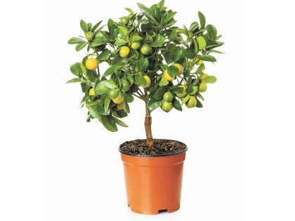 Лимонное дерево // Shutterstock