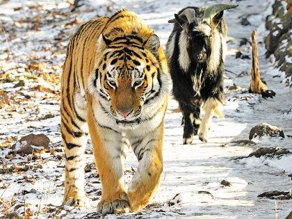Тигр Амур и козел Тимур стали известными на весь мир // Андрей Ильинский / «Амурская правда»