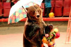 Российское законодательство не запрещает выгуливать медведей