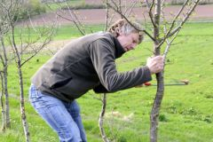 Прививание фруктового дерева может освоить даже садовод-любитель