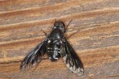 Одно из предположений — передача возбудителя сибирской язвы через насекомых