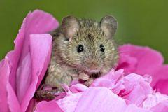 Исследования проводили на заражённых мышах