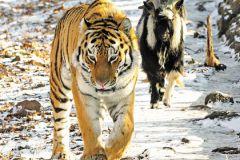 Тигр Амур и козел Тимур стали известными на весь мир
