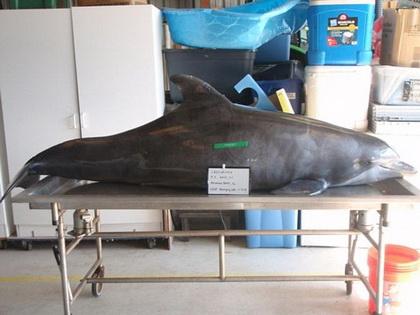 Как минимум пять дней мучился дельфин