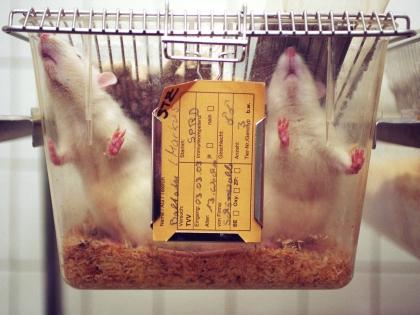 Ради нового исследования крыс замучили сексом?