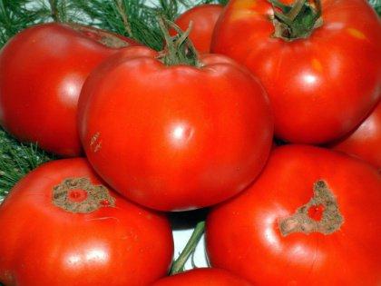 Надо собирать зеленые помидоры, как только приходит фитофтора
