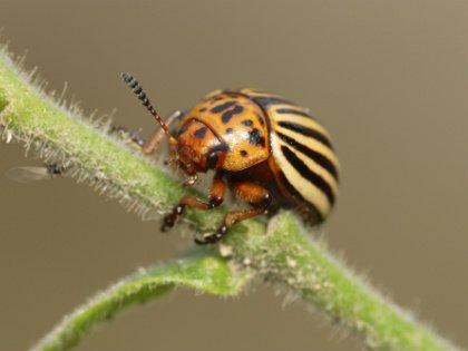 «Маячный куст» – когда все плети засохнут вчистую и останется лишь этот один зелененький кустик, на него пойдут все колорадские жуки, чтобы подкормиться перед тем, как осенью уйти на спячку