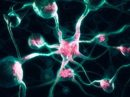 Мозг человека не отличается от мозга других животных по весу и числу нейронов