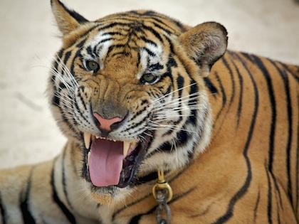 Мясо и шкуры тигра и леопарда нашли в столичных ресторанах
