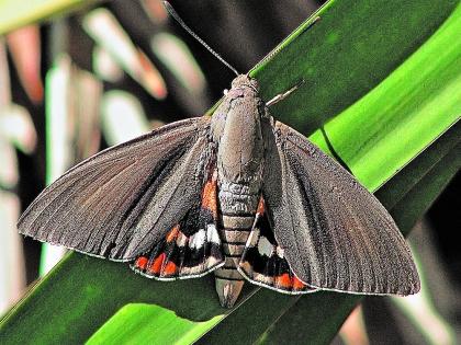 Бабочки-огневки – карантинный вид в ряде зарубежных стран