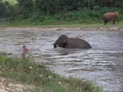 Cлоненок пытается спасти волонтера, думая, что его уносит сильным течением