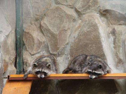 Еноты в Контактом зоопарке