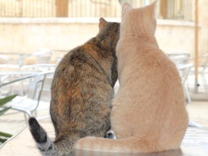 Мальтийские коты