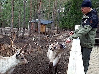 Покормить северных оленей в парке