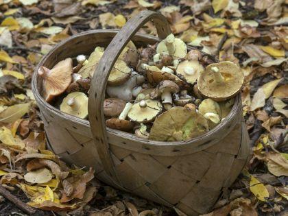 В Подмосковье погибли девять грибников
