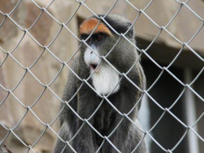 Обезьяна в Контактом зоопарке