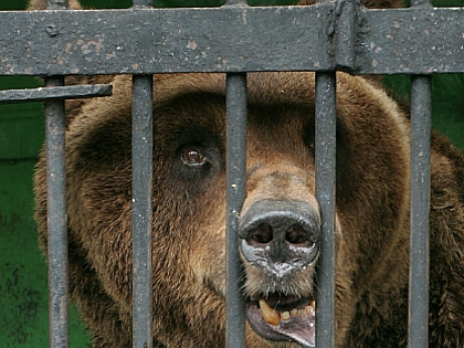 Терзание медведя обходится владельцу собаки лишь в 700-800 руб.