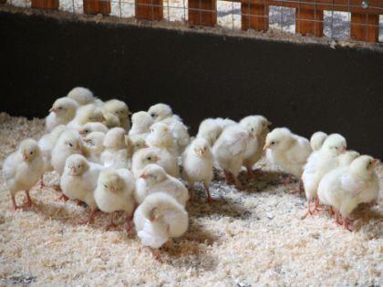 Цыплята в Контактом зоопарке