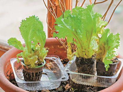 Выращивание листьев салата в домашних условиях