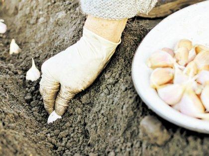 В большинстве случаев посадочный материал чеснока продается плохого качества