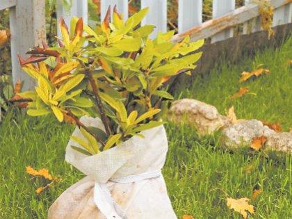 Корневая система садовых деревьев выдерживает до -15–16°С, карликовые переносят температуру -18–19°С