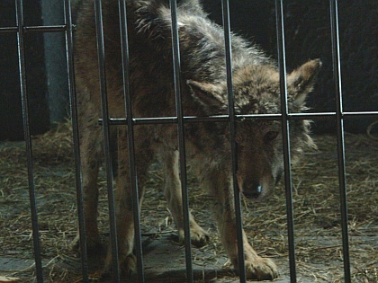 Раненых в ходе травли животных лечат далеко не всегда