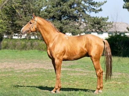 Донская лошадь