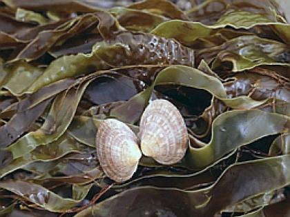 исследование морская капуста: