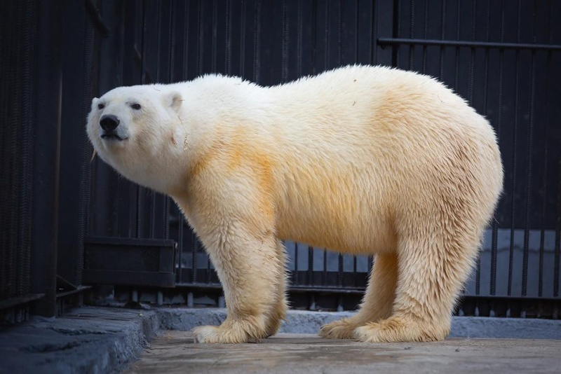 """Учёные установили, что белые медведи на участках """"Роснефти"""" максимально упитанны"""