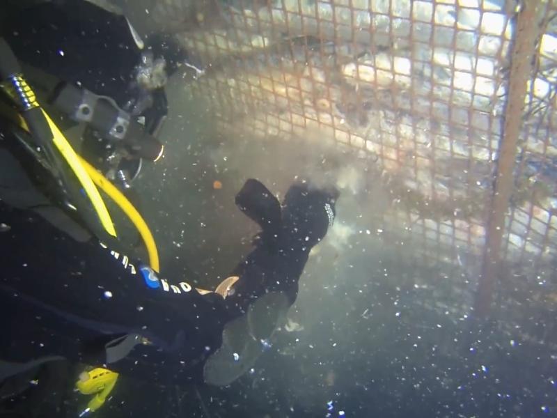 Умирающая в садках рыба продолжает гнить под водой // фото: стоп-кадр Youtube