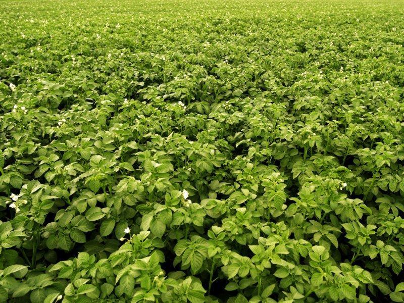 """Выращивать """"безымянную"""" картошку можно – но только для личного пользования, а не для реализации // фото: imagebroker / Alfred Schauhuber / Global Look Press"""