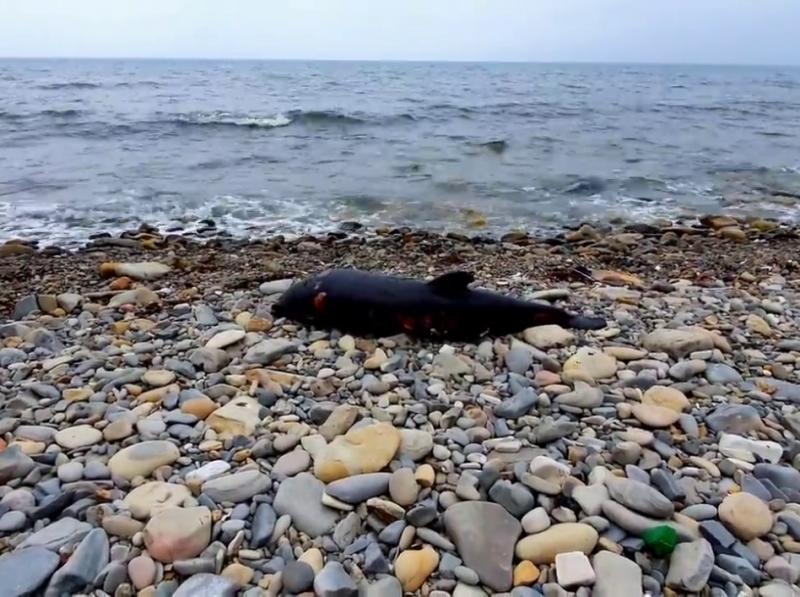 Погибший дельфин // Фото в статье: предоставлены Экологической вахтой по Северному Кавказу