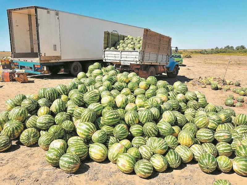 В год астраханский фермер выращивает до 2000 тонн арбузов // Фото: из личного архива