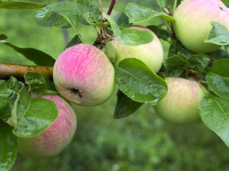 Как правильно сажать яблоню? // Фото: Global Look Press