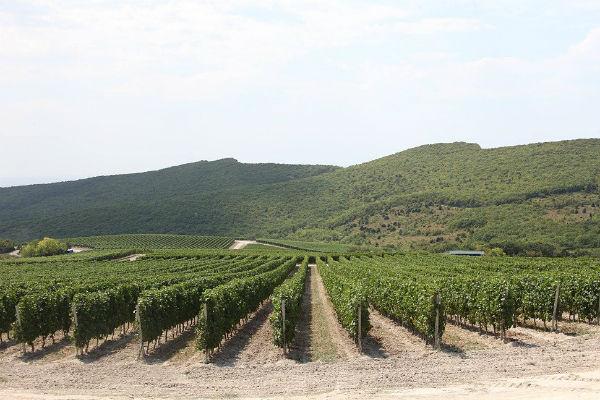 Виноградники1